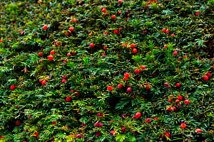 European yew (Taxus baccata) with berries, Copenhagen, Denmark, Europe, September.  -  Juan  Carlos Munoz