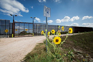 Sunflowers (Helianthus) along the US-Mexico border wall through Lower Rio Grande Valley National Wildlife Refuge, South Texas, USA. May 2014. - Krista Schlyer