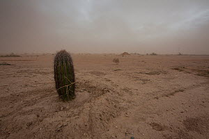 Dust storm in degraded land with Cactus.  Land cleared of desert plants is slow to recover and prone to dust storms, Sonoran Desert, Arizona, USA. February 2011. - Krista Schlyer