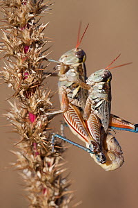 Pasture grasshoppers (Melanoplus confusus) mating, Janos grassland, Chihuahua, Mexico. October. - Krista Schlyer
