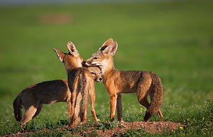 Kit foxes (Vulpes macrotis) pups interacting, Janos grassland, Chihuahua, Mexico. August. - Krista Schlyer