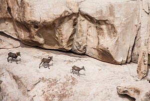 Bighorn sheep (Ovis canadensis) southwestern Arizona. USA August. - Krista Schlyer