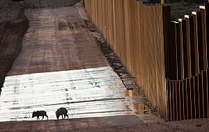 Peccaries (Pecari tajacu) standing by US-Mexico border. This stretch of wall biisects the San Pedro river corridor, one of the last free flowing rivers, state and a haven for wildlife travelling north... - Krista Schlyer