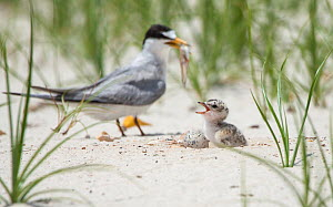 Least tern (Sternula antillarum) parent about to feed chick fish, Louisiana, USA. June 2010. - Krista Schlyer