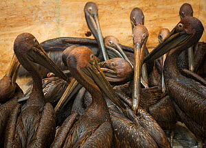 Brown pelicans (Pelecanus occidentalis) covered in oil after BP oil spill, at rehabilitation centre waiting to be cleaned. Louisiana, USA. June 2010. - Krista Schlyer