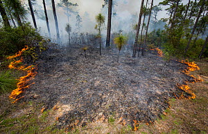 Controlled fire surrounding Longleaf pine tree (Pinus palustris) on Eglin Air Force Base, Florida, USA. May 2014. - Krista Schlyer