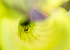 Carpenter ant (Camponotus spp.) in Pitcher plant, Green Swamp Preserve, North Carolina, USA. May. - Krista Schlyer