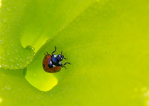 Seven-spotted lady beetle (Coccinella septempunctata) inside the funnel leaf of Pitcher plant, Alabama, USA. May 2014. - Krista Schlyer