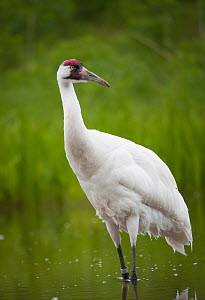 Whooping crane (Grus americana)  International Crane Foundation, Wisconson, USA. Captive. - Krista Schlyer