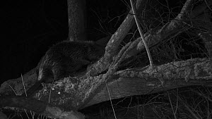 Eurasian beaver (Castor fiber) at night, chewing bark and climbing along a felled tree, Devon Wildlife TrustÕs Devon Beaver Project enclosure, Devon, England, UK, March.  -  Nick Upton