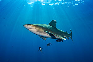 Oceanic whitetip shark (Carcharhinus longimanus) accompanied by pilotfish (Naucrates ductor) as it cruises beneath the surface of the Red Sea, close to Little Brother Island. The Brothers Islands, Egy...  -  Alex  Mustard