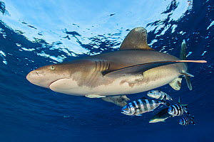 Oceanic whitetip shark (Carcharhinus longimanus) accompanied by pilotfish (Naucrates ductor) as it cruises beneath the surface of the Red Sea, close to Little Brother Island. A rainbow runner (Elagati...  -  Alex  Mustard