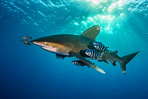 Oceanic whitetip shark (Carcharhinus longimanus) accompanied by pilotfish (Naucrates ductor) as it cruises beneath the surface of the Red Sea in the late afternoon, close to Little Brother Island. The...  -  Alex  Mustard