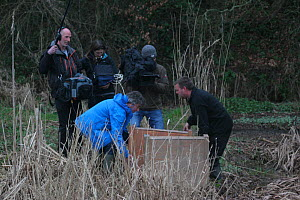 Release of Eurasian beavers (Castor fiber) into River Otter, assisted by Martin Hughes-Games with camera crew filming. Part of escaped population re-released to the wild following veterinary check ups...  -  Devon Wildlife Trust