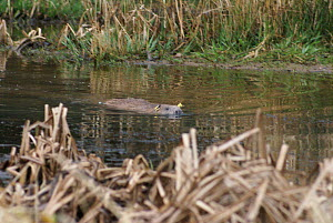 Eurasian beaver (Castor fiber) swimming in River Otter. Part of escaped population re-released to the wild following veterinary check ups by Royal Zoological Society of Scotland and Devon Wildlife Tru...  -  Devon Wildlife Trust