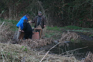Release of Eurasian beavers (Castor fiber) into River Otter, assisted by Martin Hughes-Games. Part of escaped population released back intothe wild following veterinary check ups by Royal Zoological S...  -  Devon Wildlife Trust