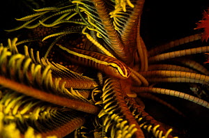 Feather star clingfish (Discotrema crinophila) living in crinoid, New Caledonia, Pacific Ocean. This fish perfectly mimics its host and has modified pelvic fins that act as suction cups for attachment... - Pascal Kobeh