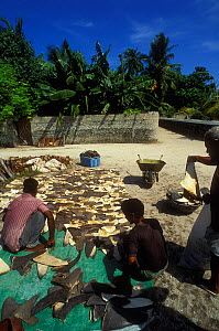 Shark fins drying in sun for export to Asia, Himmendhoo island, Ari Atoll, Maldives, Indian Ocean.  1998 - Pascal Kobeh