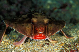 Rosy lipped batfish (Ogcocephalus porrectus),  Cocos Island, Costa Rica, Pacific Ocean. Small reproduction only  -  Pascal Kobeh