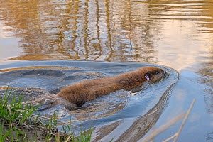 Eurasian beaver (Castor fiber) swimming in River Otter after release. Part of escaped population re-released to the wild following veterinary check ups. Taken on the second day of Beaver releases afte... - Nick Upton