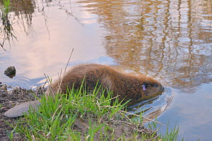 Eurasian beaver (Castor fiber) entering the River Otter after release. Part of escaped population re-released to the wild following veterinary check ups. Taken on the second day of Beaver releases aft...  -  Nick Upton