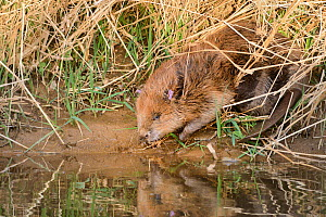 Eurasian beaver (Castor fiber) on the banks of the River Otter after release. Part of escaped population re-released to the wild following veterinary check ups. Taken on the second day of Beaver relea...  -  Nick Upton