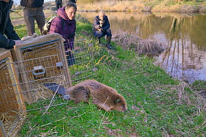 Release of Eurasian beaver (Castor fiber) back to the River Otter.  Part of escaped population re-released to the wild following veterinary check ups. Taken on the second day of Beaver releases after...  -  Nick Upton