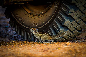 Indian palm squirrel (Funambulus palmarum) near car tyre, Sri Lanka, October.  -  Paul Williams