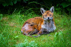 Red fox (Vulpes vulpes) with mange, garden, Bristol, UK, June. - Paul Williams
