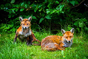 Red fox (Vulpes vulpes) with mange, garden, UK, June. - Paul Williams