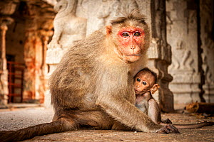 Bonnet macaque (Macaca radiata) suckling baby in temple, Hampi, Karnataka, India. - Paul Williams