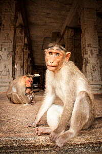 Bonnet macaque (Macaca radiata) adults and baby in temple, Hampi, Karnataka, India, July. - Paul Williams