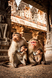 Bonnet macaque (Macaca radiata) females suckling babies in temple, Hampi, Karnataka, India, July. - Paul Williams