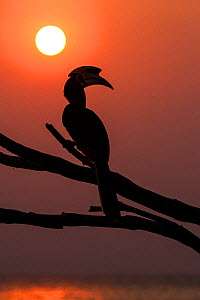 Oriental pied hornbill (Anthracoceros albirostris) with sunset over ocean, Pangkor, Malaysia. - Paul Williams