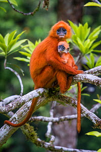 Red leaf monkey (Presbytis rubicunda) mother holding baby, Danum Valley, Sabah, Borneo, Malaysia August.  -  Paul Williams
