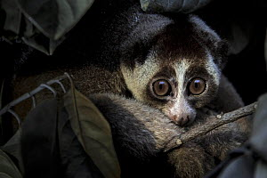 Javan slow loris (Nycticebus javanicus) rescued by Jakarta Animal Aid Network (JAAN), in holding cage, Animal rescue centre, Jakarta, Indonesia. Critically Endangered. Post production to remove light...  -  Paul Williams