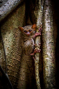 Spectral tarsier (Tarsius tarsier) returning to sleep in fig tree after a night hunting, Tangkoko, Sulawesi, Indonesia. - Paul Williams