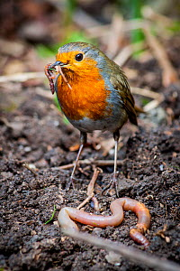 European robin (Erithacus rubecula) with earthworms, UK, April.  -  Paul Williams