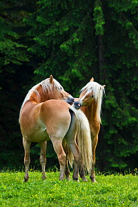Two young Haflinger stallions grooming each other in alpine meadow, Austria..  -  Klein & Hubert