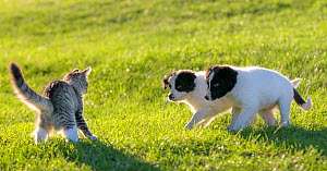 Tabby and white semi-longhaired kitten in defensive posture,  arching back and fluffing up tail as two Border collie puppies  approach, France. - Klein & Hubert