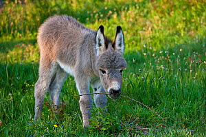 Sardinian donkey foal playing with a blackberry twig, France. - Klein & Hubert