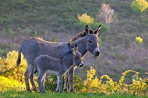 Sardinian donkey mare and foal, France. - Klein & Hubert