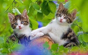 Two tabby and white kittens, age 6 weeks, playing on a log, France. - Klein & Hubert