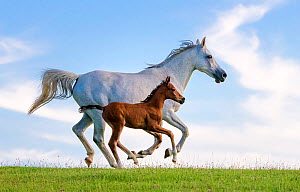 Purebred Arabian horse, grey mare and her 3-week bay foal galloping in meadow. France.  -  Klein & Hubert