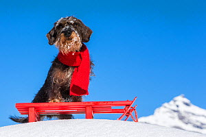 Wirehaired Dachshund with red scarf on a sledge in French Alps, France. - Klein & Hubert