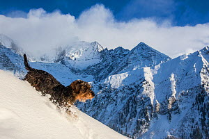 Wirehaired Dachshund running on a snowy slope with Mont Blanc in background. Haute-Savoie, Alps, France.  -  Klein & Hubert