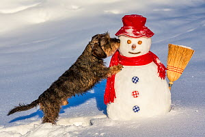 Wirehaired Dachshund sniffing snowman, French Alps, Haute-Savoie, France. - Klein & Hubert