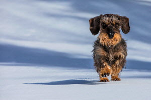 Wirehaired Dachshund running on snow, French Alps, Haute-Savoie, France. - Klein & Hubert
