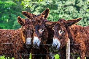 Poitou donkeys in meadow behind a fence. Normandy, France.  -  Klein & Hubert