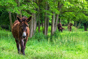 Poitou donkey walking in meadow with flowering acacia trees. Normandy, France.  -  Klein & Hubert